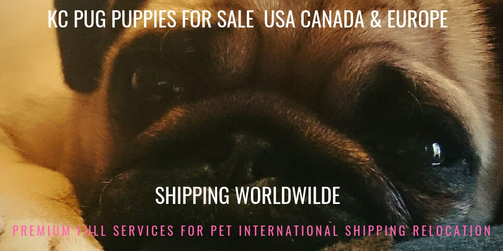 KC PUG PUPPIES FOR SALE USA CANADA & EUROPE
