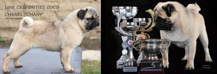 "Int Nld Uk Ch TANGETOPPEN'S TAKE A HINT ""TINO"" © Photo J Ashton Zobear Show Kennels & LINE CELEBRITIES COCO CHANEL ""CHANY"" © Photo Kennel Line Celebrities - Carlins Royal As A Pug"