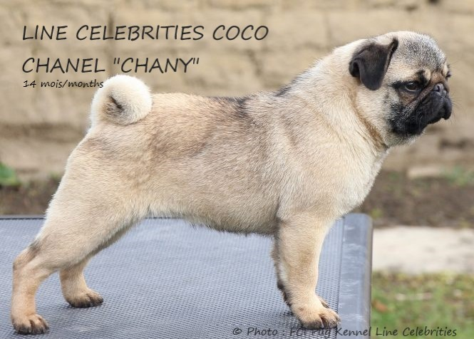 Carlin (Pug) : Photo du Carlin (Pug) LINE CELEBRITIES COCO CHANEL « CHANY » (CH Beauty Flowers Abervil × CH Beauty Flowers Grezy Nochi)