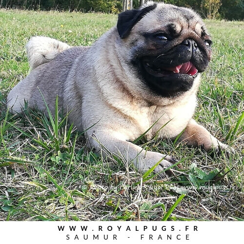 Elevage de Carlin Chiots Royal As A Pug Show Pugs and KC Pug Puppies