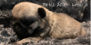 Photo de Chiot Carlin : Carlin Femelle ROYAL AS A PUG OH DIOR J'ADORE par Multi Champion TANGETOPPEN'S TAKE A HINT dit TINO hors LINE CELEBRITIES COCO CHANEL dite CHANY
