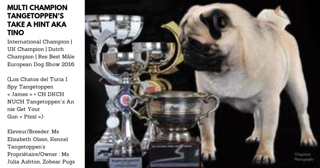 Etalon Carlin - Pug Stud Dog