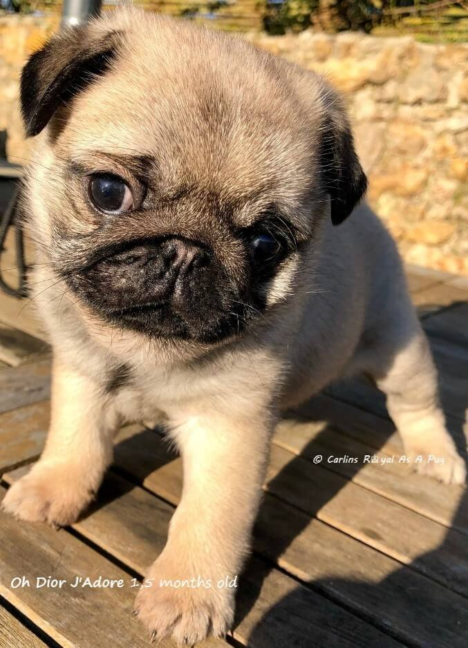 Photos de Carlin Femelle ROYAL AS A PUG OH DIOR J'ADORE