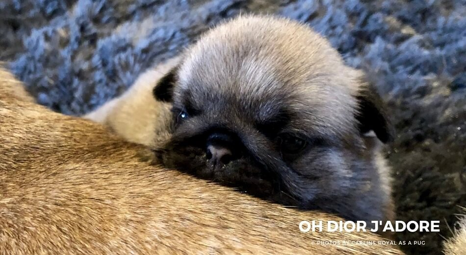 Photo de Carlin, Pug Dog Picture : Oh Dior J'Adore (Multi Champion TANGETOPPEN'S TAKE A HINT dit TINO X LINE CELEBRITIES COCO CHANEL dite CHANY ) © Photo by Carlins Royal As A Pug