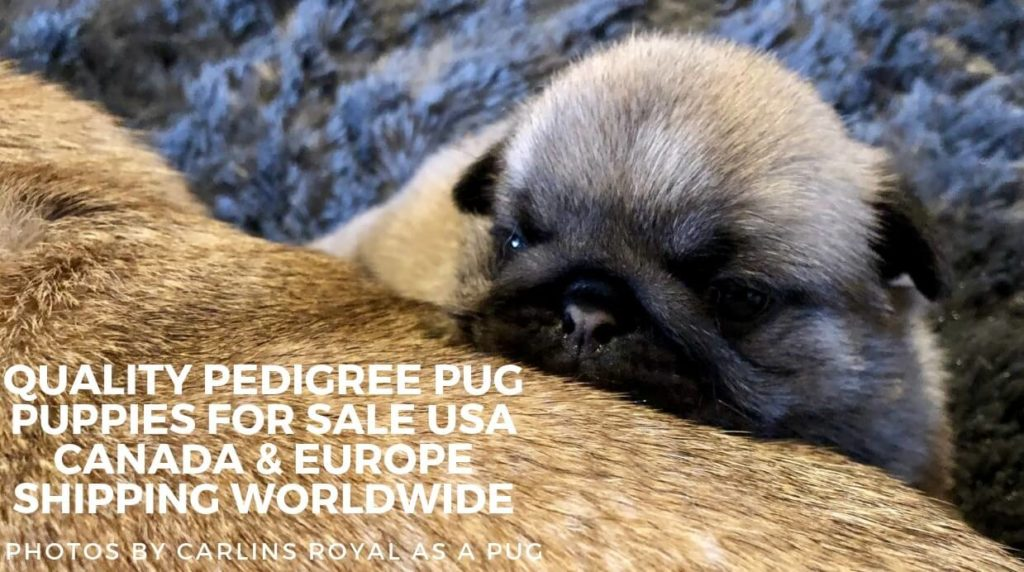 show quality kc pedigree pug puppies for sale usa canada and europe shipping worldwide