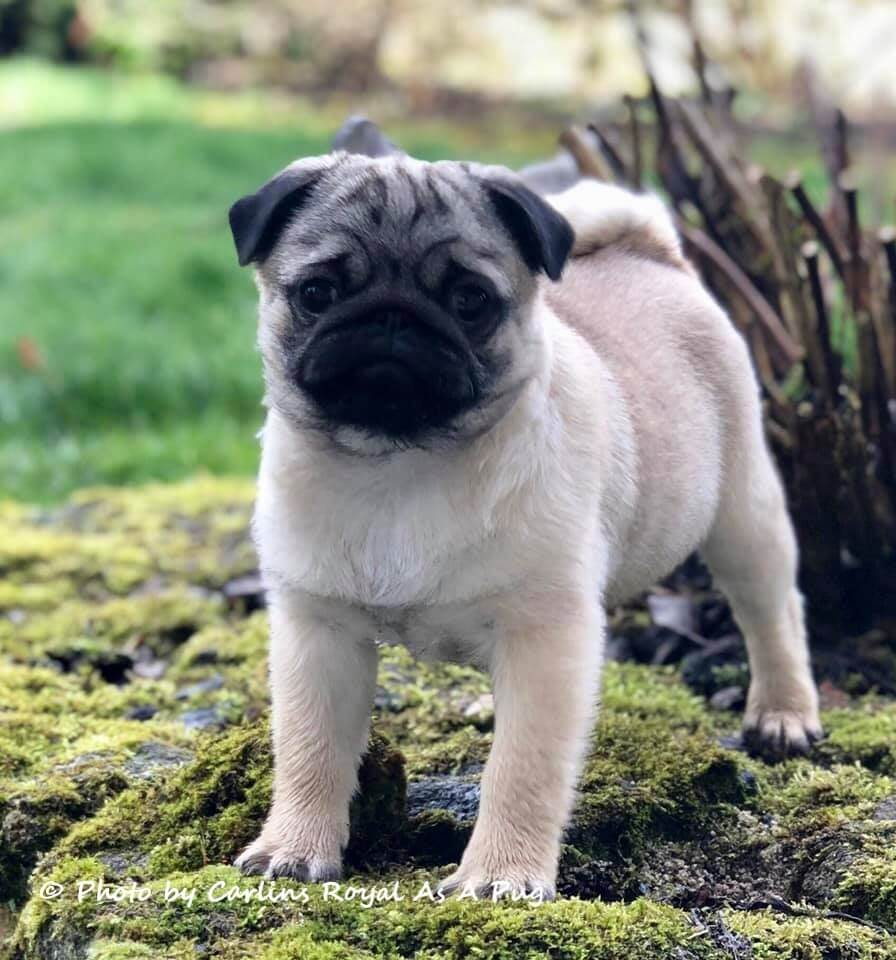 Carlin : Chiot Carlin à vendre, Vente de chiots de race Carlin (Pug) Lof, Pug Breeder, Sho Pugs & KC Pug Puppies © Carlins Royal As A Pug