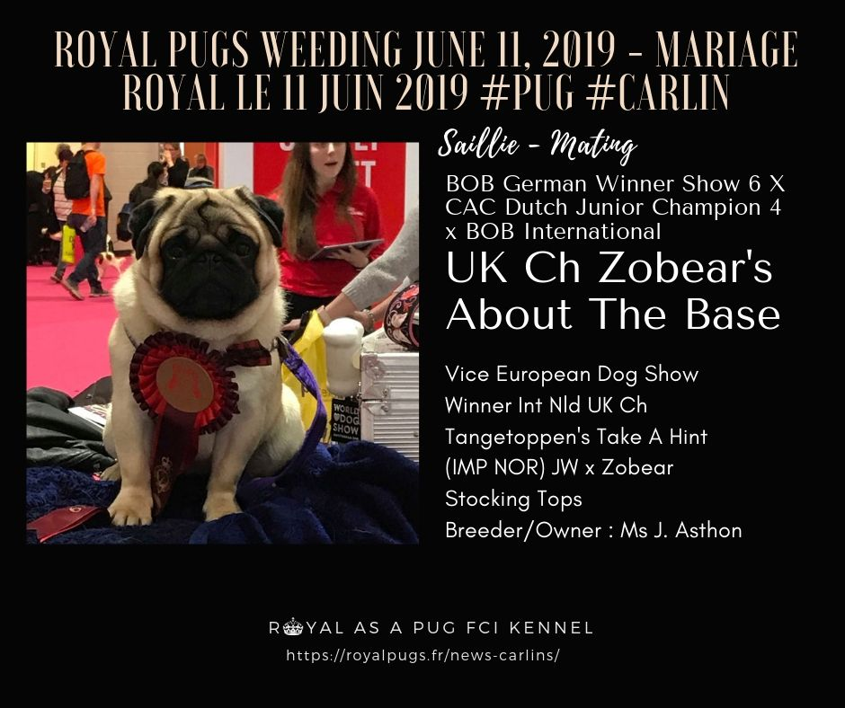BOB GERMAN WINNER SHOW 2017 UK CH ZOBEAR S ABOUT THE BASE ( Int, NL, UK Ch Tangetoppen'S Take A Hint (Imp Nor) JW x Zobear Stocking Tops) © Photo by Ms J. Ashton for Royal as A Pug