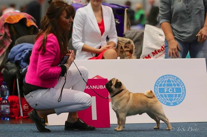 Champion Zobear About The Base (Ch. Tangetoppen's Take A Hint Jw x Zobear Stocking Tops) Breeder/Owner Ms J Ashton © Photo Pug Dog Club of England