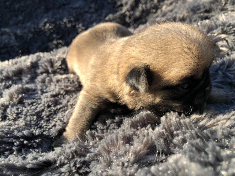 Chiot Carlin – Pug Puppy
