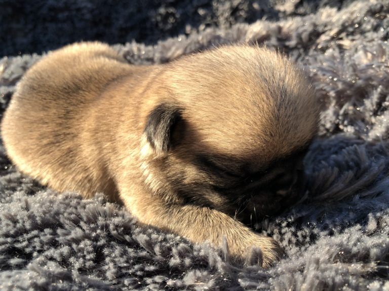Puppy Pug Dog Breed