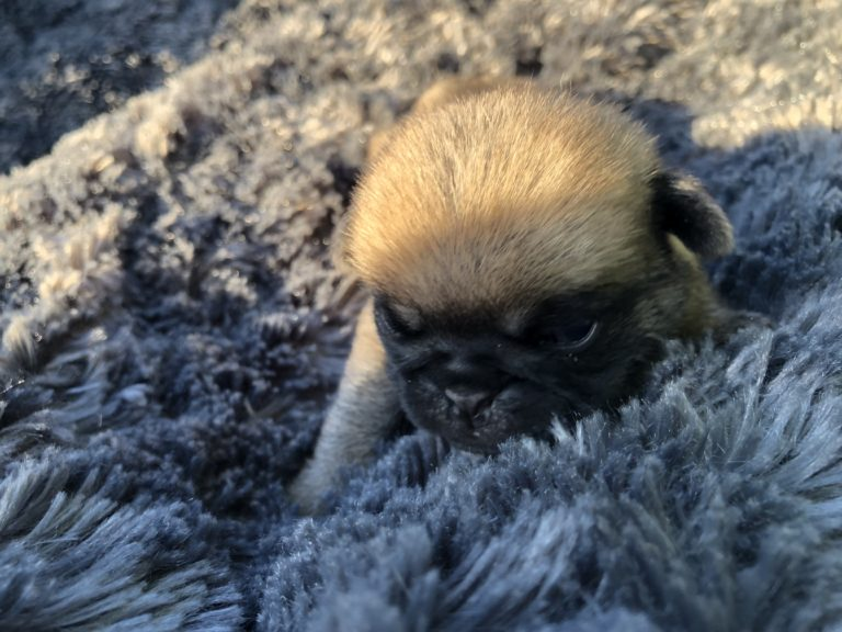 litter of 12 days old pug pups at Carlins Royal As A Pug