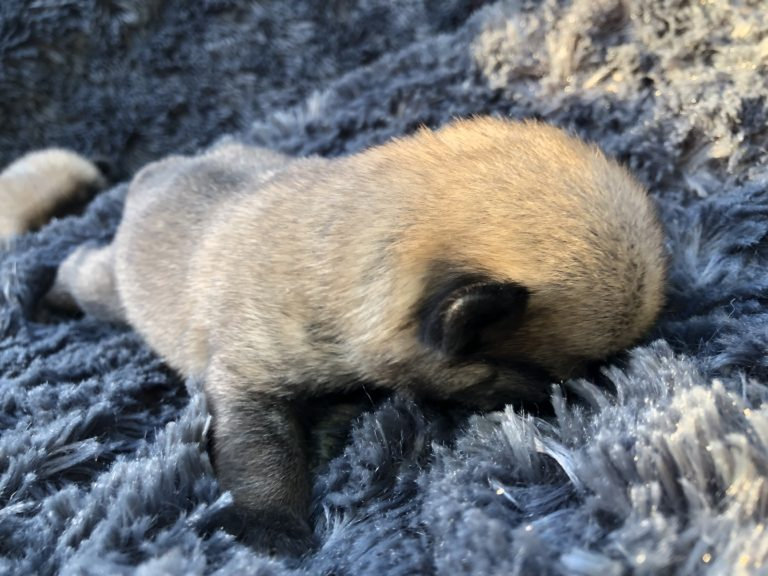 Royal As A Pug Kennel - 2019 Litter of Pug