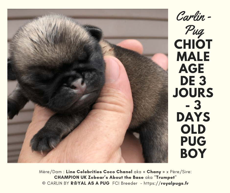 We Are Proud To Announce Our 2019 Litter Of Pug Pups !