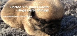 Galerie Photos Chiots Carlin - New Photo Gallery of Pug Puppies