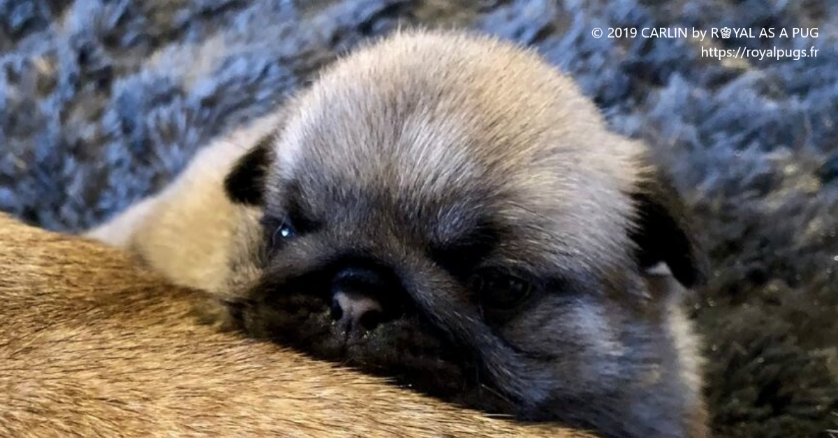 Chiot de race Carlin - Show Pugs and KC Puppies - Elevage Carlin Royal As A Pug
