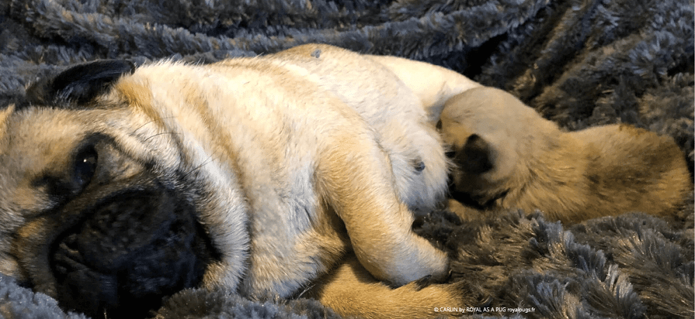 Naissance des bébés Carlin - Our beautiful fawn litter of pug puppies have arrived