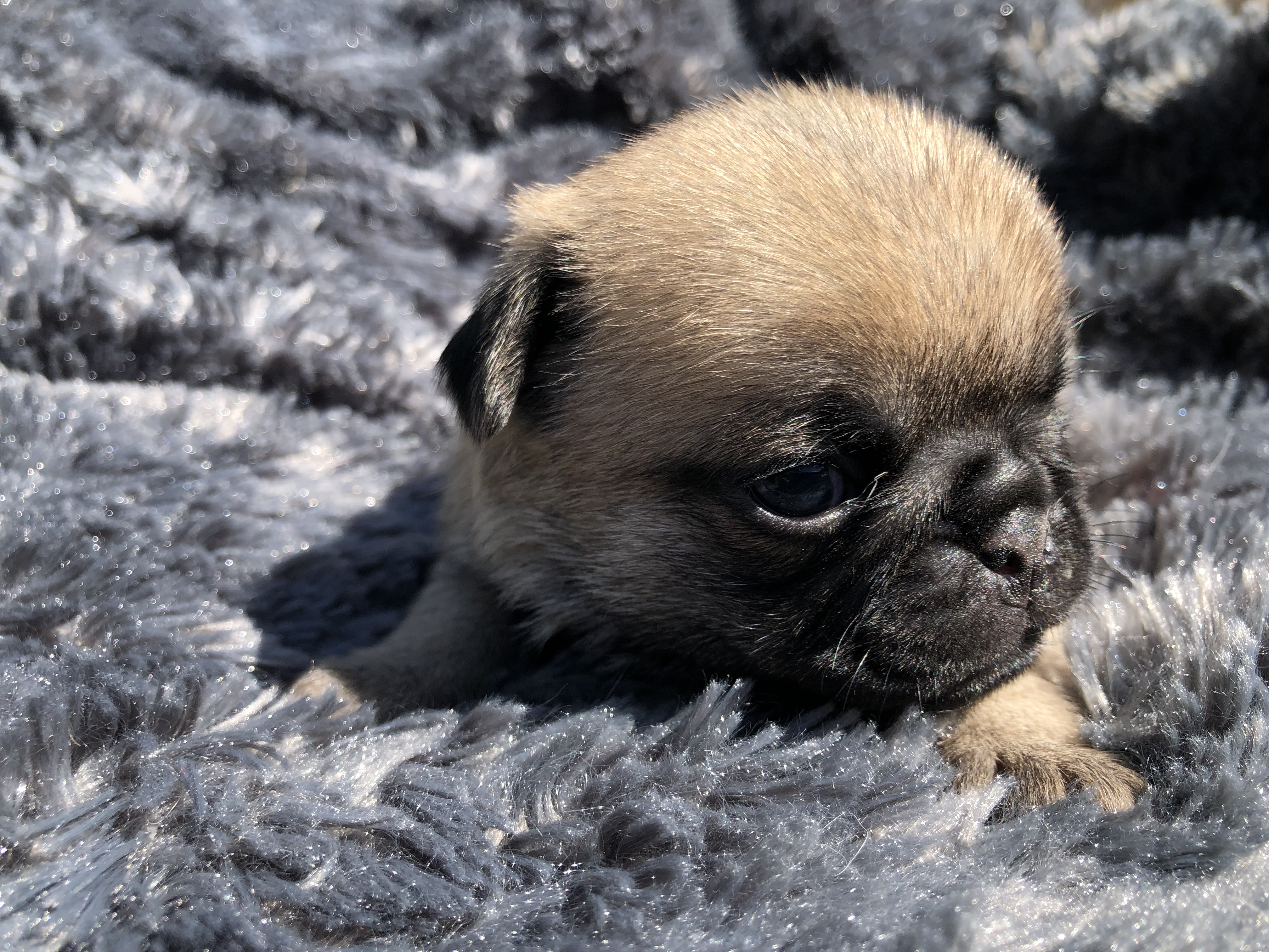 We have for sale quality PUG PUPPIES