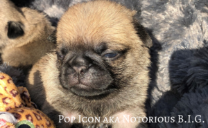 We have for sale quality PUG babies