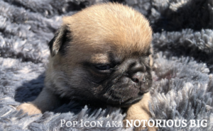 Carlin | Chiots à vendre  | Pug | Pug Puppies for Sale