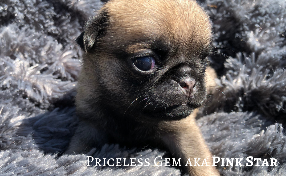 Superbes Chiot carlin disponibles 11/10/2019 - Stunning Pug Puppies ready to go October 11, 2019
