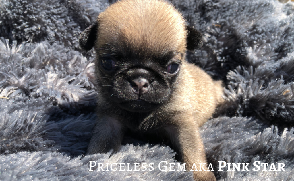 Femelle Carlin Fauve PRICELESS GEM aka PINK STAR Fawn Pug Puppy Bitch © 09/2019 Carlin ROYAL AS A PUG