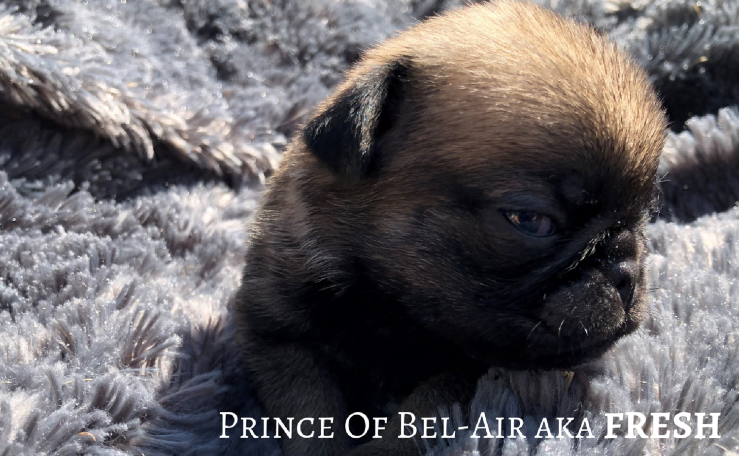 Carlin Mâle Fauve ROYAL AS A PUG PRINCE-OF-BEL-AIR aka FRESH Pug Dog Male