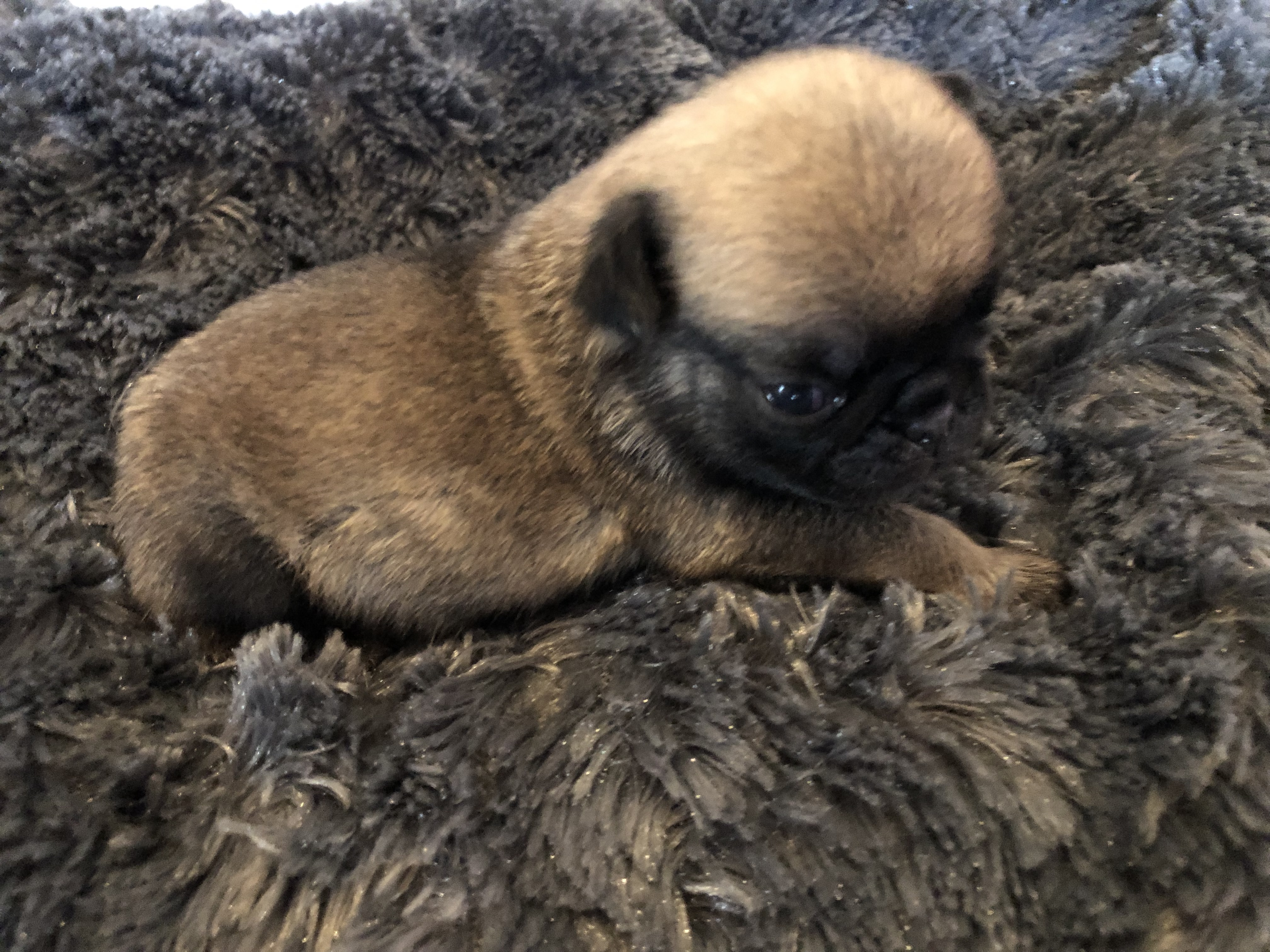 Chiots de la race Carlin disponibles - Puppies pure Pug Breed Available