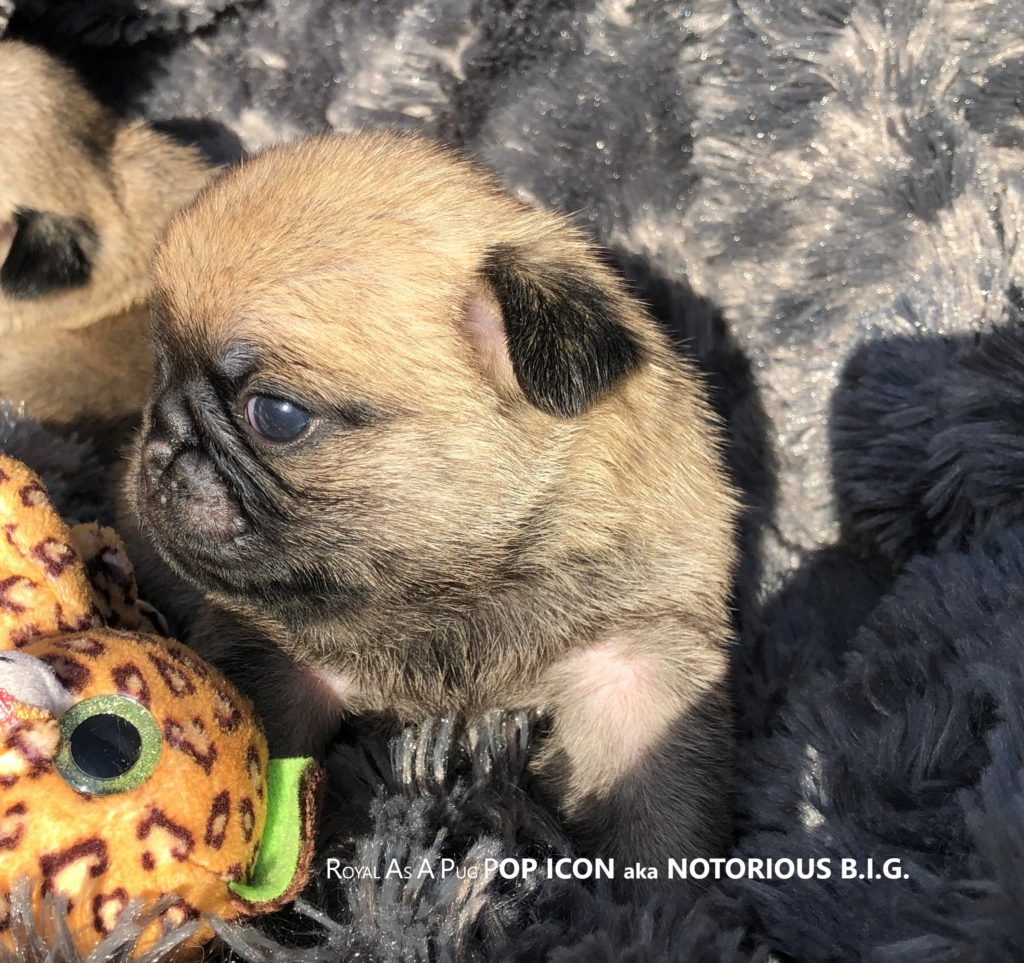 "Chiot Carlin Fauve Mâle POP ICON aka ""NOTORIOUS BIG"" Pug Dog Male Photo Père/Sire : BOB German Winner Dutch Junior Champion UK Champion ZOBEAR'S ABOUT THE BASE aka « TRUMPET » X Mère/Dam : LINE CELEBRITIES COCO CHANEL aka « CHANY » © 02/09/2019 Carlin ROYAL AS A PUG"