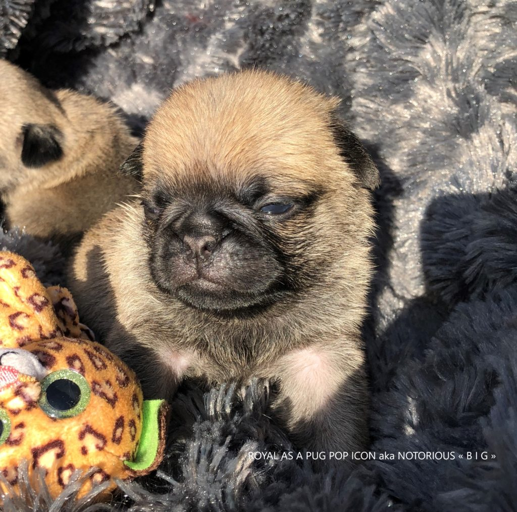 Photo du Carlin Mâle ROYAL AS A PUG POP ICON aka NOTORIOUS « B I G » Pug Dog Male Photo Père/Sire : BOB German Winner Dutch Junior Champion UK Champion ZOBEAR'S ABOUT THE BASE aka « TRUMPET » X Mère/Dam : LINE CELEBRITIES COCO CHANEL aka « CHANY » © 2019 CARLIN by ROYAL AS A PUG