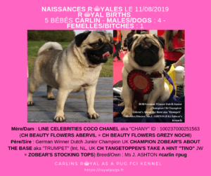 Portée de chiots de race Carlin nés le 11 Août 2019  ! Disponibles à partir de mi Octobre Chiot Carlin | Quality KC Pug Puppies for Sale ! Borned puppies borned 08.11.10.19 in the 8-to-9 week-old age