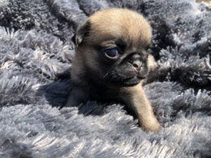 Chiots Carlin à vendre - Pug Dogs and Puppies for sale