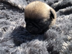 Trouver un Chiot de race Carlin à vendre - Find Pug Puppies For Sale