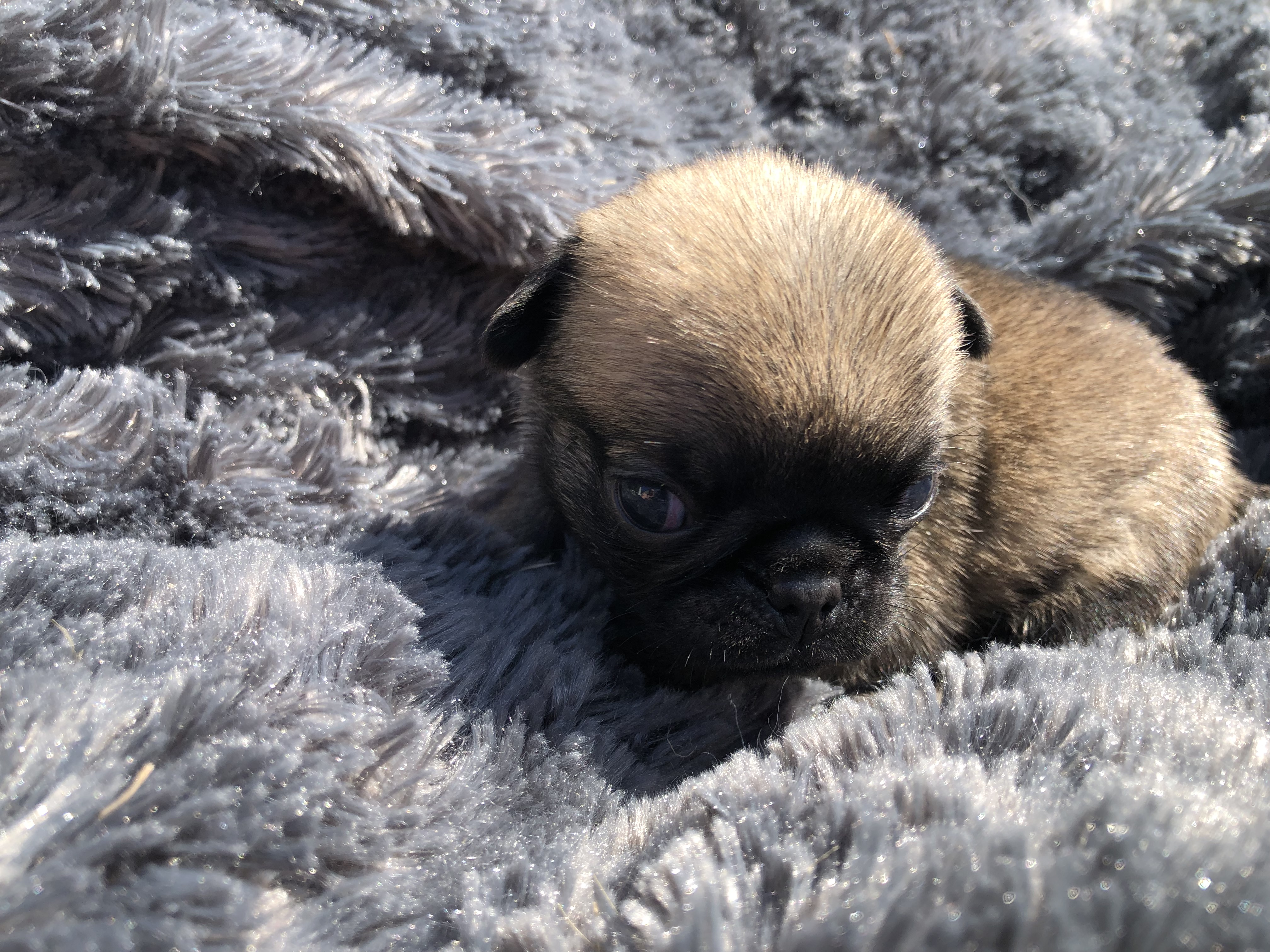 Chiots de race Carlin à vendre  | Pug Puppies for Sale