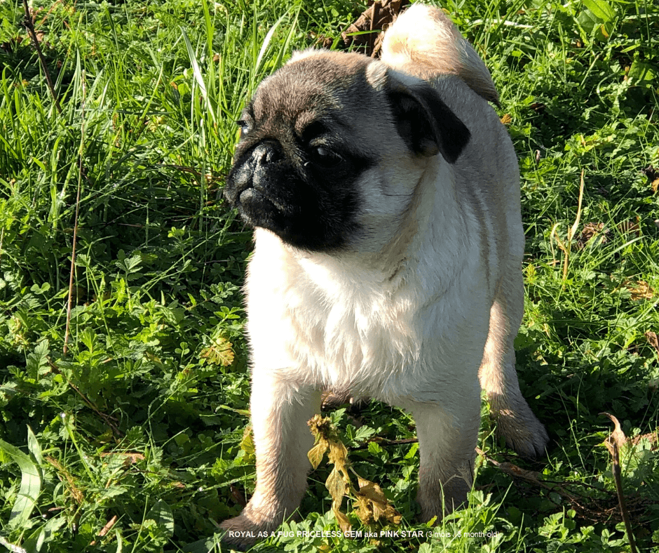 """Photo : Chiot Carlin Femelle Fauve à 3 mois """"PRICELESS GEM aka PINK STAR """" Fawn Pug Puppy Bitch 3 month-old"""