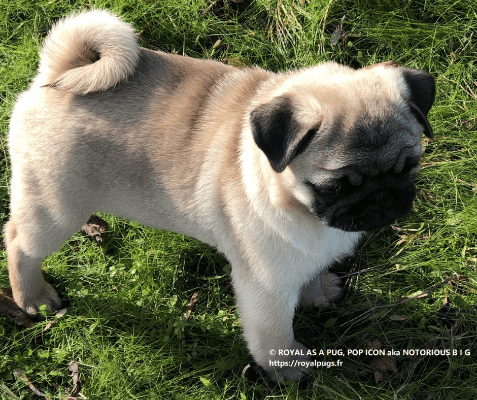 Chiot Carlin Lof ROYAL AS A PUG POP ICON aka NOTORIOUS B I G Pedigree Pug Puppy