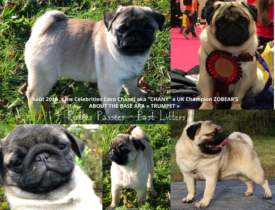 Portée 2019 - 2019 Litter : UK Ch ZOBEAR S ABOUT THE BASE TRUMPET Owner Breeder Ms J Ashton x LINE CELEBRITIES COCO CHANEL aka CHANY - Carlins Royal As A Pug
