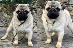 Chiot Carlin à vendre : Chiots de race Carlin Pug | Pug Puppies For Sale
