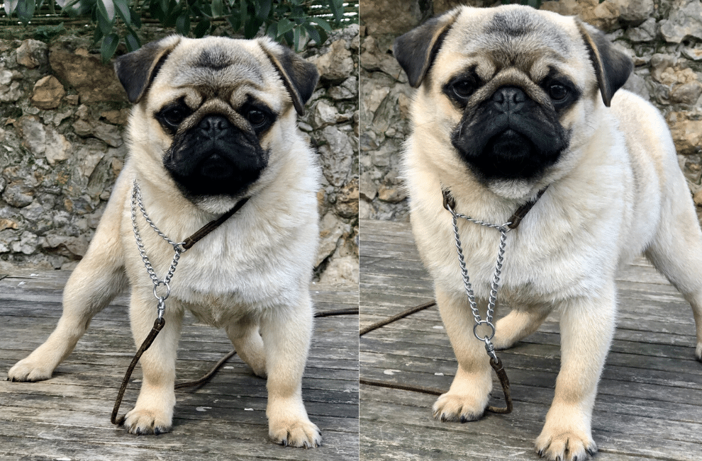 Carlin à vendre | Vente de chiot de race Carlin Pug | Pug Puppy for Sale