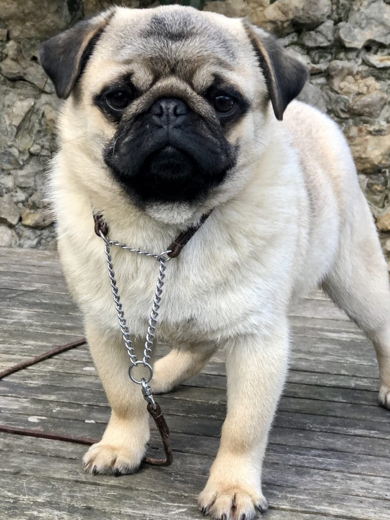 Pug Puppy for Sale : 7 months-old KC registered Pug Pupy Male For Sale